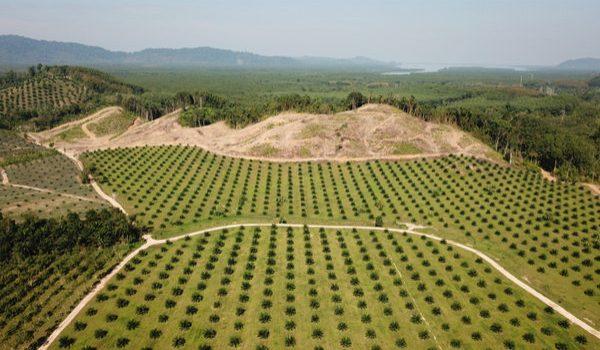 Deforestazione causata dall'olio di palma
