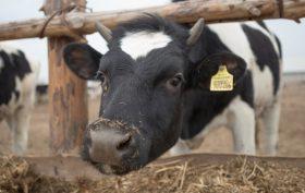Mucca in un recinto