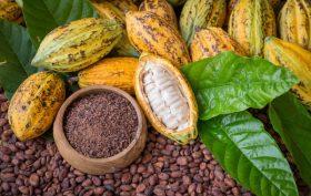 Cacao, frutti