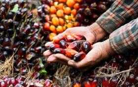 Olio di palma - semi