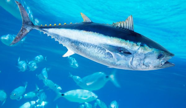 pesce-tonno