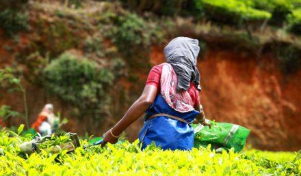 donna intenta a raccogliere foglie di tè